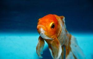 金魚のフン